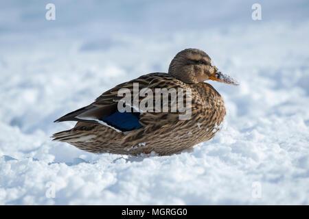 Nahaufnahme der einzelnen weiblichen Ente (STOCKENTE) sitzen in der kalten Wintersonne auf verschneiter Tag, Ihre Orange Rechnung im Schnee bedeckt - West Yorkshire, England, UK. - Stockfoto