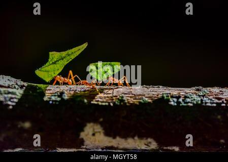 Ameisen sind die Blätter - Stockfoto