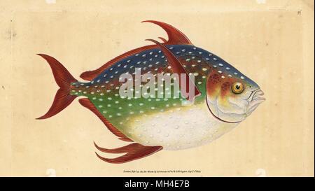 Opah oder König Fisch, Lampris guttatus (Zeus Luna). Papierkörbe Kupferstich erstellt und von Edward Donovan aus seiner natürlichen Geschichte der britischen Fische, Donovan und F.C. und J. Rivington, London, 1802-1808 eingraviert.