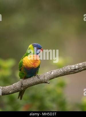 Rainbow Lorikeet auf einem isolierten Hintergrund, mit einer unscharfen Natur Hintergrund.