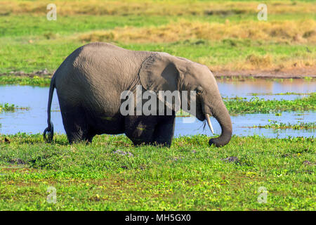 Elefanten im Wasser. Nationalpark von Kenia, Afrika - Stockfoto