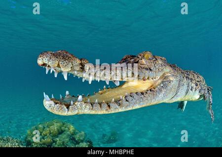 Salzwasser Krokodil (Crocodylus porosus), Unterwasser, Kimbe Bay, West New Britain, Papua Neuguinea - Stockfoto