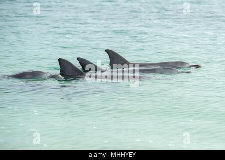 Wilde Delphine in der Nähe der Ufer in Australien Monkey Mia Beach - Stockfoto