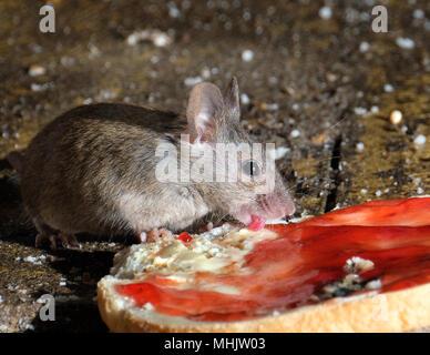 Junge Maus wird von zwei alten Böcken eingeritten