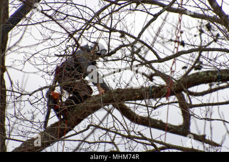 Kletterausrüstung Baum Fällen : Ein holzfäller der auf einen baum klettern stockfoto bild