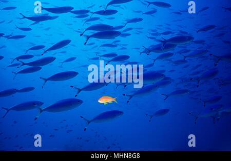Schule der fuseliers Schwimmen von links nach rechts mit einem Goldfisch im Vordergrund von links nach rechts - Stockfoto