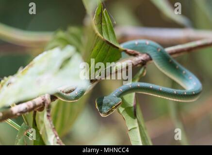 Waglers Bambusotter Oder Tempel Viper Tropidolaemus Wagleri Borneo