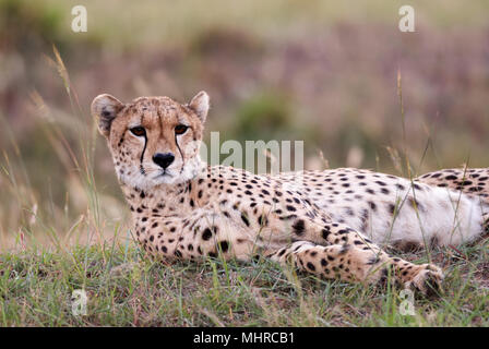 Schöne Gepard im hohen Gras der Afrikanischen Savanne liegend, Kenia - Stockfoto