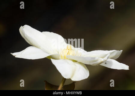 Weiß bis creme einzelne Blume Der winterharte Kletterpflanze, Clematis 'Guernsey Cream', eine mittlere Jahreszeit blühende Form - Stockfoto