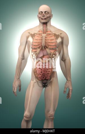3D-Visualisierung der menschlichen Anatomie. Die Lungen in einem ...
