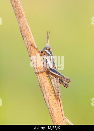 Ein Tau bedeckten Ausläufer-throated Grasshopper (Melanoplus sp.) Nymphe Sitzstangen auf eine Pflanze, um Stammzellen in der kühlen Luft des frühen Morgens. - Stockfoto