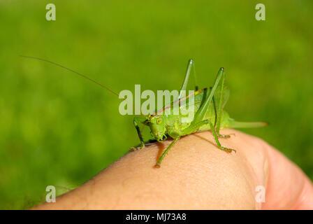 Frau Busch cricket Arten (Tettigonia) auf eine menschliche Hand. - Stockfoto