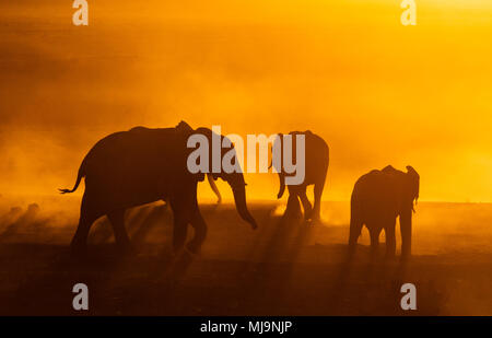 Afrikanische Elefanten vor der Silhouette Sonnenuntergang - Stockfoto