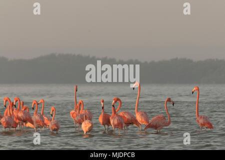 Rosa Flamingos Familie in der Morgendämmerung. Rosa Flamingos sammeln in der Morgendämmerung bevor Sie Ihren Tag in den Fluss zu starten - Stockfoto