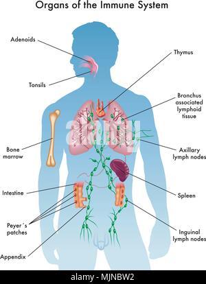 Anhang - männliche Anatomie menschlicher Organe - Röntgenblick ...