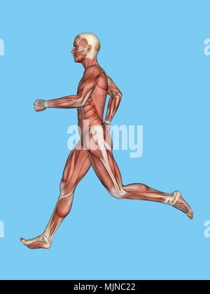 Muskeln der männlichen Anatomie in Bewegung Stockfoto, Bild ...