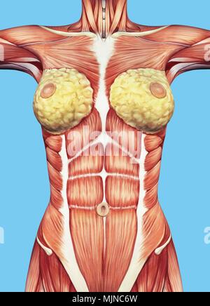 Anatomie der weiblichen Muskulatur, Rückansicht Stockfoto, Bild ...