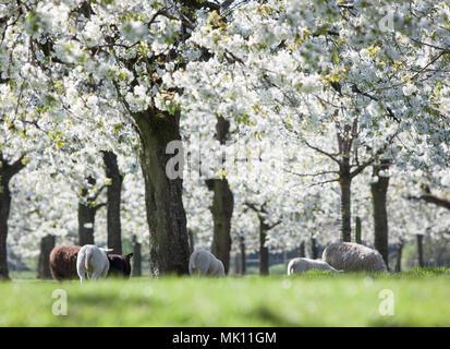 Schafe grasen im grünen Gras unter blühenden Kirschbäume in der Nähe von Utrecht - Stockfoto