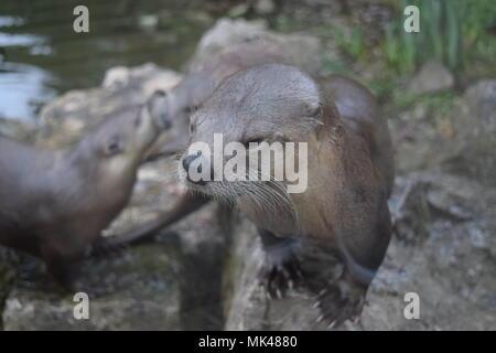 Otter Familie auf der Bank von Wasser - Stockfoto