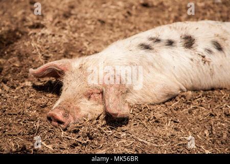 Nelke, Washington, USA. Dirty Gloucestershire alten Spot Ferkel in einem Schweinestall suhlen. (PR) - Stockfoto