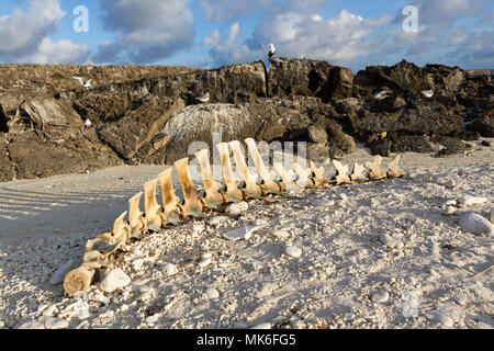 Grindwal Skelett auf einem Strand, Genovesa Island, Galapagos, Ecuador - Stockfoto