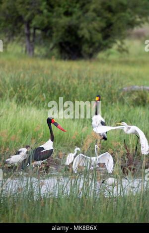 Afrikanische Feuchtgebiet Vogelwelt. Okavango Delta. Botswana. Saddlebill Störche, Reiher und Ibis konkurrieren, die laichenden Fische. Januar. Nassen Jahreszeit. - Stockfoto