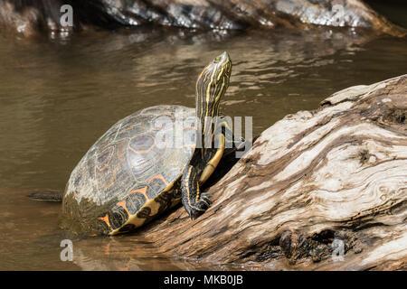Teich Schieberegler TRACHEMYS SCRIPTA nach ruht auf Felsen im Fluss, Costa Rica - Stockfoto