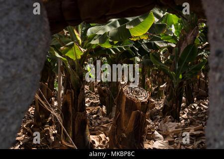 Bananenstauden, triploid Der Musa Acuminata colla AAA-Arten, entsprechend der Cavendish Sorte, in einer Plantage am Boden zeigt einen Schnitt - Stockfoto