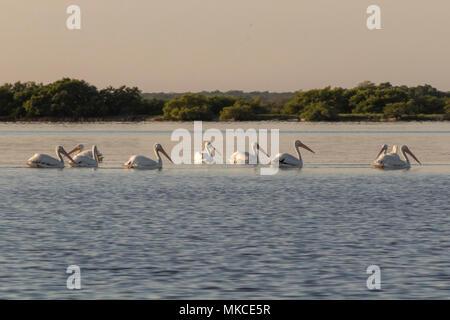 Weiße Pelikane sonnen in den Fluss. Sie nehmen eine Pause nach einem produktiven Morgen Fischen und Jagen. - Stockfoto