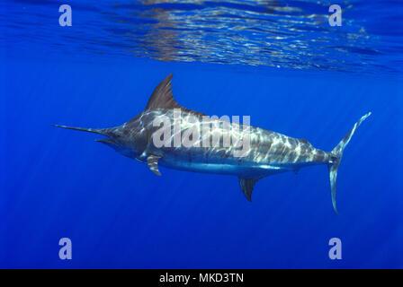 Blauer Marlin (Makaira nigricans), Teneriffa, Kanarische Inseln. - Stockfoto