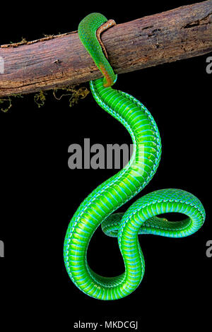 Große Augen Bambusotter (Ein älterer Name macrops) männlichen auf schwarzem Hintergrund. - Stockfoto