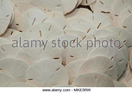 Sand Dollar, Sanibel Island, Florida, USA. - Stockfoto