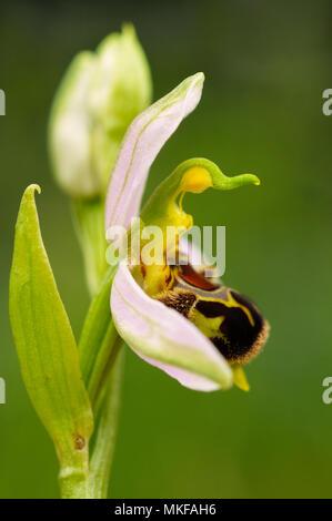 Bienen-ragwurz (Ophrys apifera) in voller Blüte in einem wilden Garten, Auvergne, Frankreich - Stockfoto