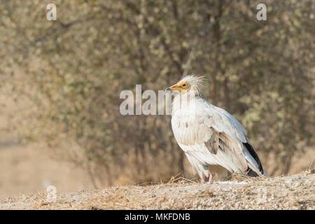 Schmutzgeier (Neophron percnopterus), auch genannt die Weißen scavenger Geier oder des Pharao Huhn, auf dem Boden, Bikaner, Rajasthan, Indien - Stockfoto
