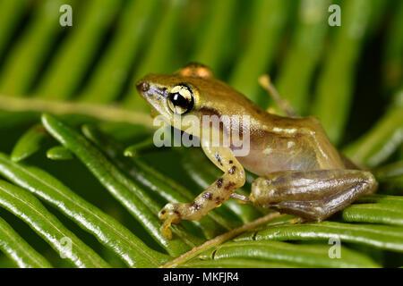 Junge Ankafana Bright-eyed Frog (Boophis sp), Andasibe, Perinet, Alaotra-Mangoro Region, Madagaskar - Stockfoto