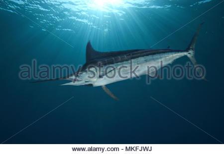 Blauer Marlin (Makaira nigricans). Laterale Ansicht. Das zusammengesetzte Bild. Azoren, Portugal. - Stockfoto