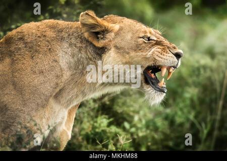 Löwe (Panthera leo), brüllende Löwin, Tsavo Nationalpark, Kenia Stockfoto
