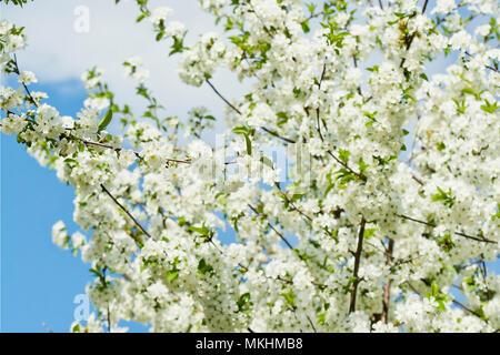 Sauer Kirschbäume blühen im Frühling - Stockfoto
