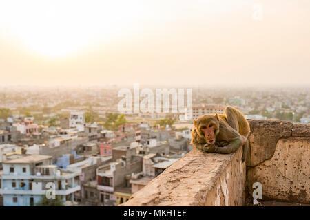 Portrait einer jungen macaque Affen sitzen auf einer Mauer den Sonnenuntergang genießen. Stadt Jaipur im Hintergrund. Jaipur, Indien. - Stockfoto