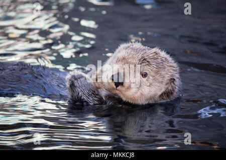 California Seeotter, Enhydra Lutris, Monterey, CA USA. - Stockfoto