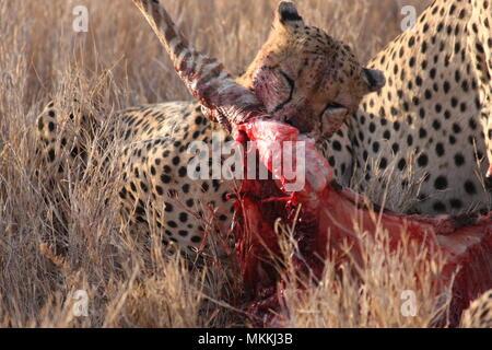 Cheetah Knirschen auf ein Zebra, Knochen, Blut und Fleisch, Gore und Vergnügen - Stockfoto
