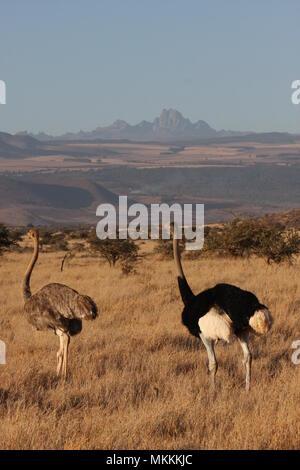 Männliche und weibliche Strauße wandern in der Zentralen Meru, Mount Kenya im Hintergrund. - Stockfoto