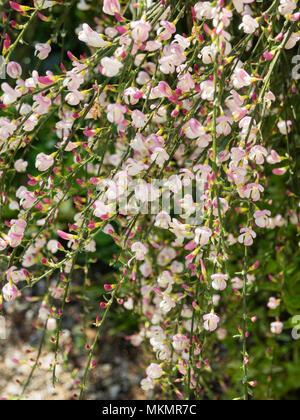 Rosa und weissen Blüten der Brückenbildung, Twiggy gemeinsame Besen Sorte, Cytisus scoparius 'oyclare Pink' - Stockfoto