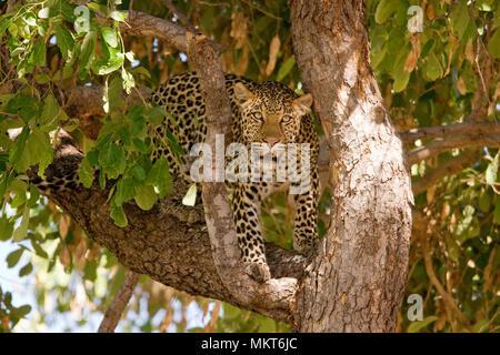 Wild Leopard in einem Baum, Savute Nationalpark, Botswana, Afrika - Stockfoto