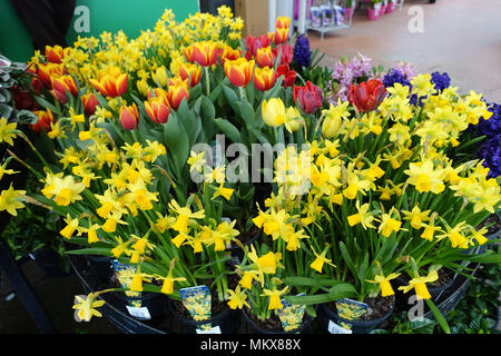 narzissen tulpen und hyazinthen blumen australien stockfoto bild 184359409 alamy. Black Bedroom Furniture Sets. Home Design Ideas
