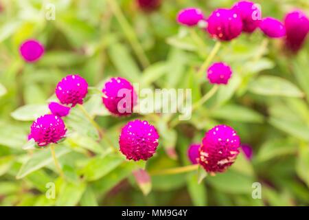 Globus Amaranth oder Gomphrena nana Blume, rosa Blume im Garten. - Stockfoto