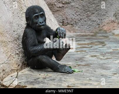 Baby Orang-utan. (Bornesischen Orang-utan Orang-Utan, Pongo pygmaeus) Portrait. - Stockfoto