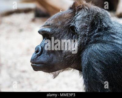 Das Gesicht von einem Orang-utan. (Bornesischen Orang-utan Orang-Utan, Pongo pygmaeus) Portrait. - Stockfoto