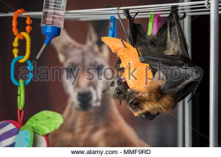 Zwei junge verwaiste graue Flying Fox Welpen, Pteropus poliocephalus, genießen Sie eine Mahlzeit von Rockmelon. - Stockfoto