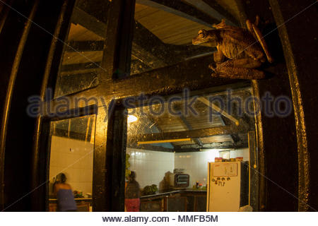 Rosenbergs Gladiator Treefrog, Hypsiboas rosenbergi, ruht auf einem Fenster fangen Insekten durch das Licht angezogen. - Stockfoto